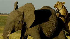 Africa's Giant Killers features footage from the Savute Game Reserve in Botswana