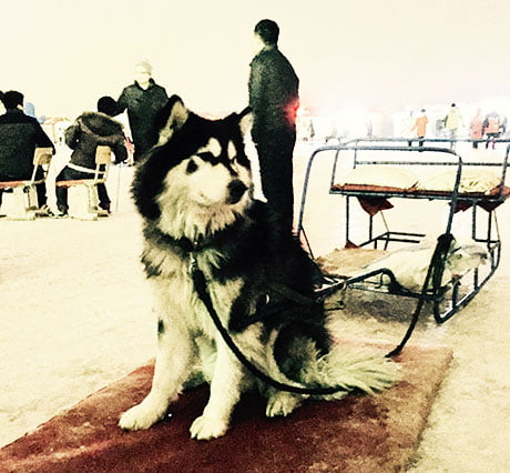 A Siberian husky: well versed in all things snow