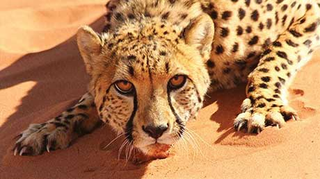 Offspring's Christmas wildlife show Big Cats: An Amazing Animal Family