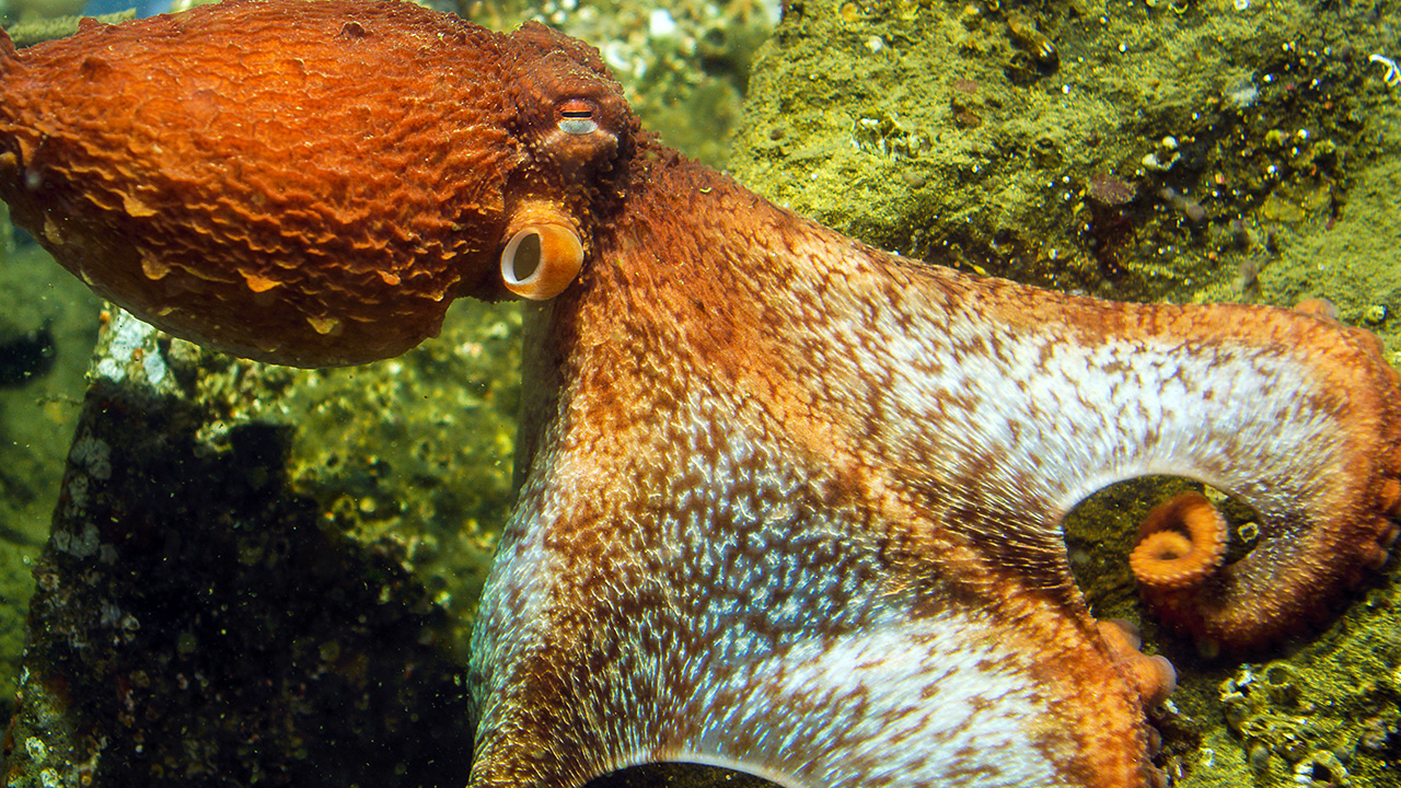 In Touch With a Giant Pacific Octopus