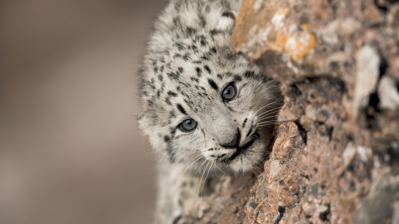 Snow Leopards And Friends
